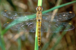 Global skimmers dragonfly