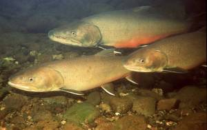 Endangered bull trout of the Pacific Northwest
