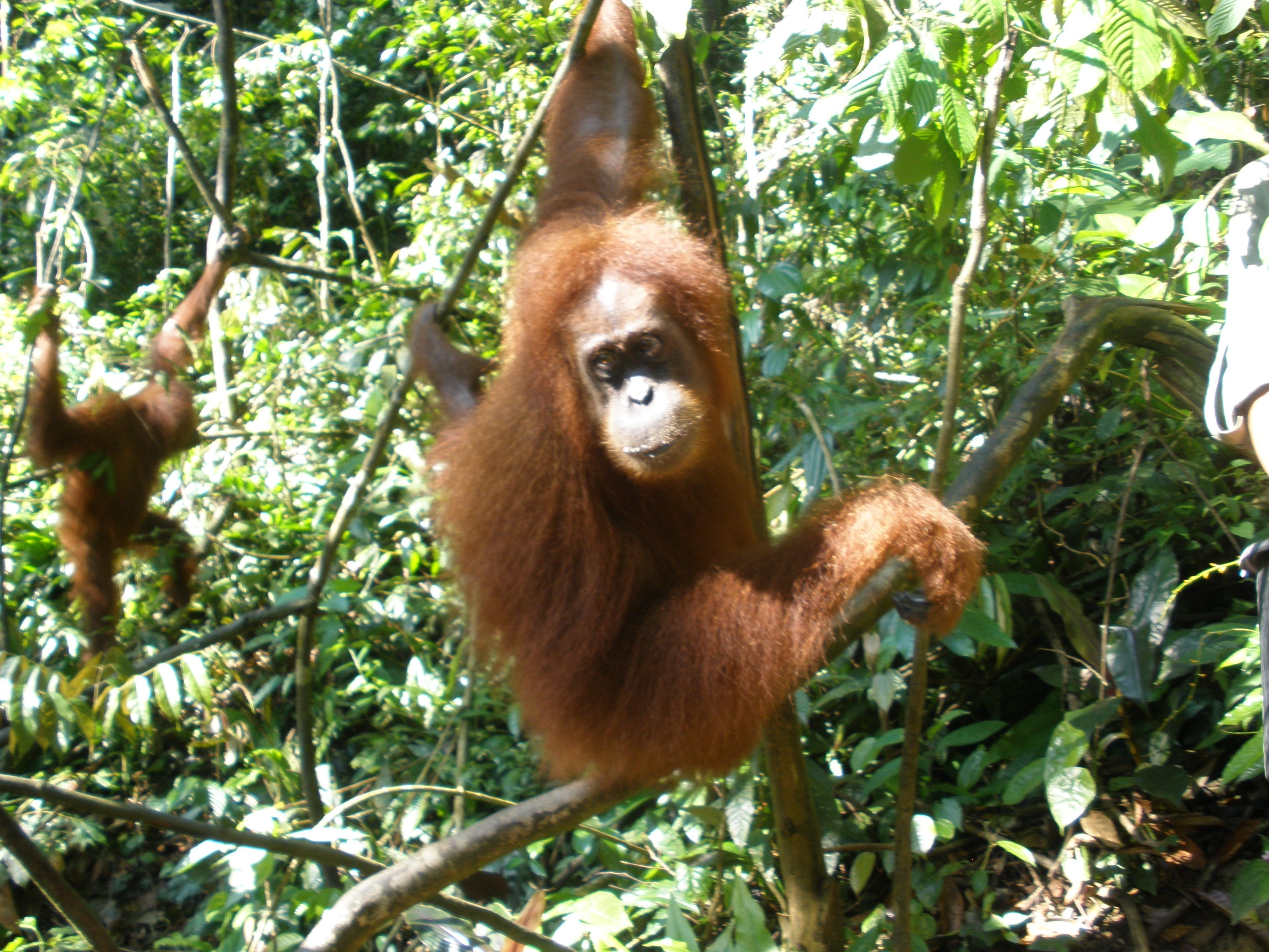orangutan research paper A slightly revised version of this paper will appear in biodiversity and  research  project 40 of which professor clem tisdell was the project leader.