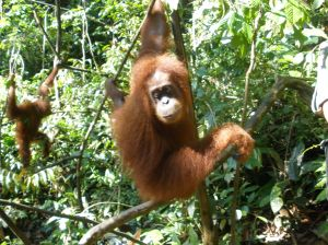 Critically endangered orangutans