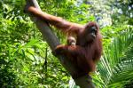 Reintroduction of orangutans a success