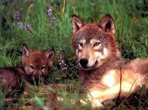 0-WolfMom-02-wall-(1024x768)
