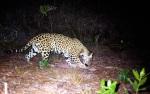 Endangered Mexican jaguar