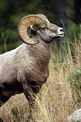 Sonoran bighorn sheep