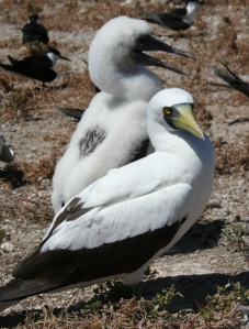 Masked booby lives