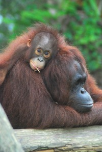 Does this orangutan mama look like yours?