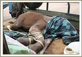 Orphan elephant TAmaren