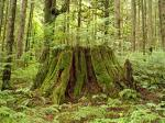 Destroying old growth forests