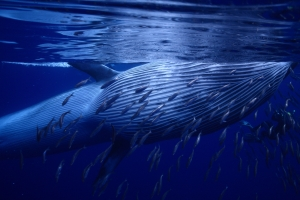 Endangered Bryde's whale