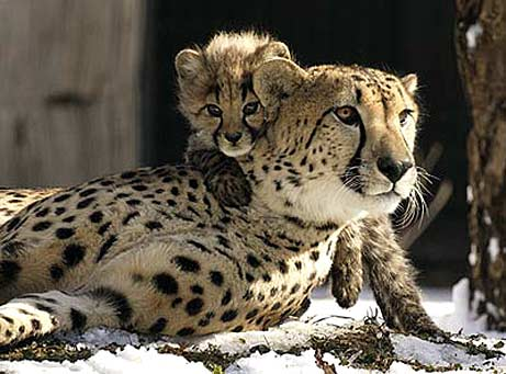 external image cheetahs-momcub1.jpg