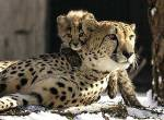 Cheetahs may run free in India