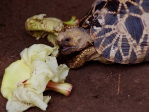 Critically endangered Akaran Forest turtle found