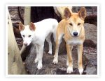 Adult wild dingoes