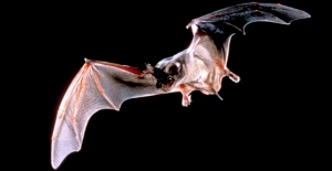 Bats Best insect eaters in the southwest