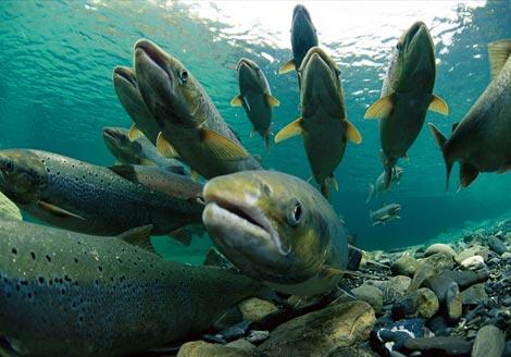 عكسهای ماهی قزال الا