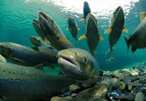 Spawning Atlanticc salmon