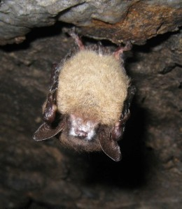 Brown bats fungal mask