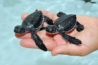 82 new sea turtle hatchlings