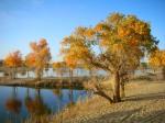 Tarim_river desert poplar