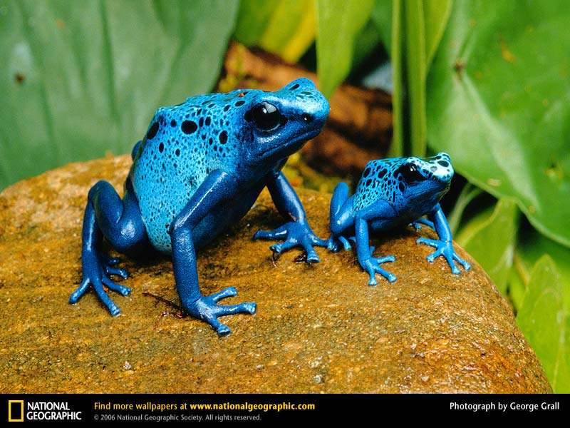 66 best images about black and blue frog's on Pinterest   Copper ...