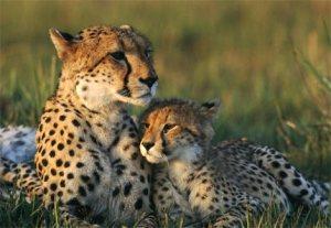 cheetah tears