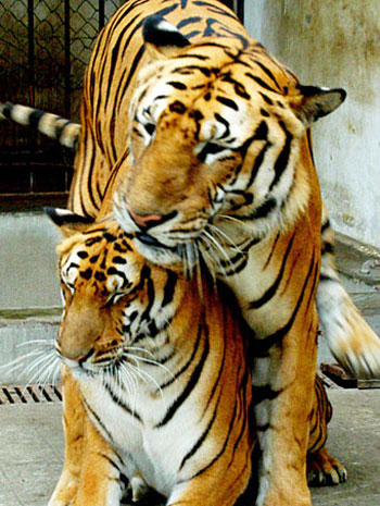 The Flailing of Tiger Mom s